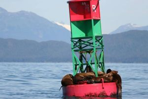 Jennifer Green Embt - Snoozing sea lions, Auke Bay, Alaska
