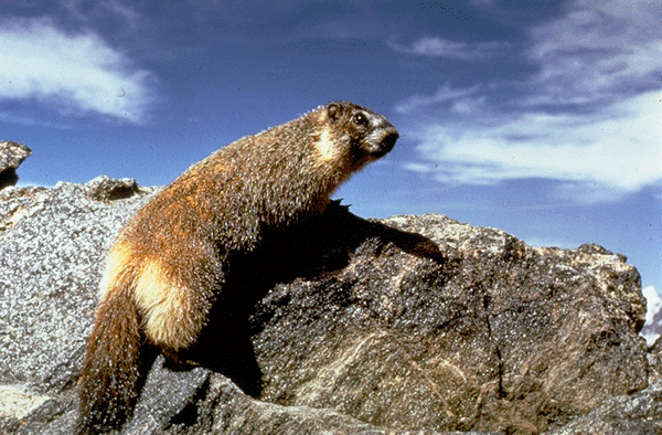 Marmot photo credit NPS