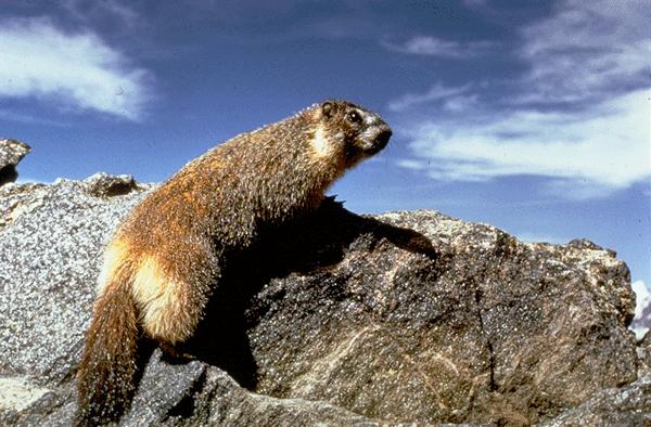 Marmot photo credit NPS