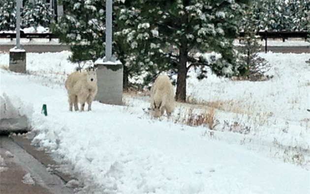 Goats in snow 4-28-17