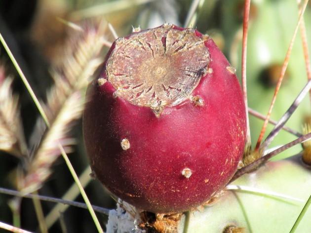 prickly pear tuna