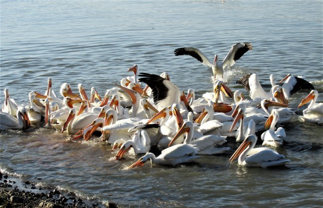 Pelicans fighting for scraps