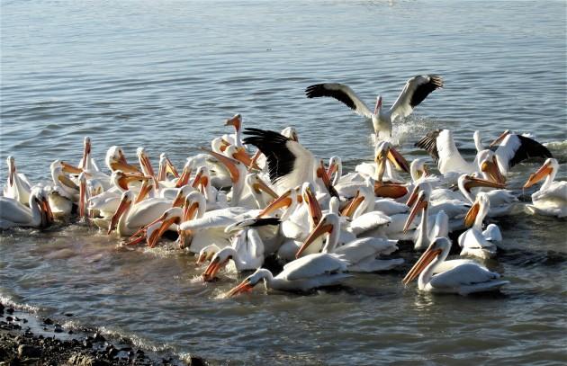 Pelicans fighting for scraps