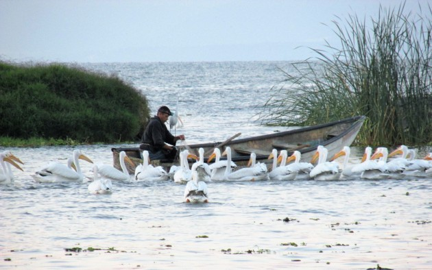Fisherman and pelicans